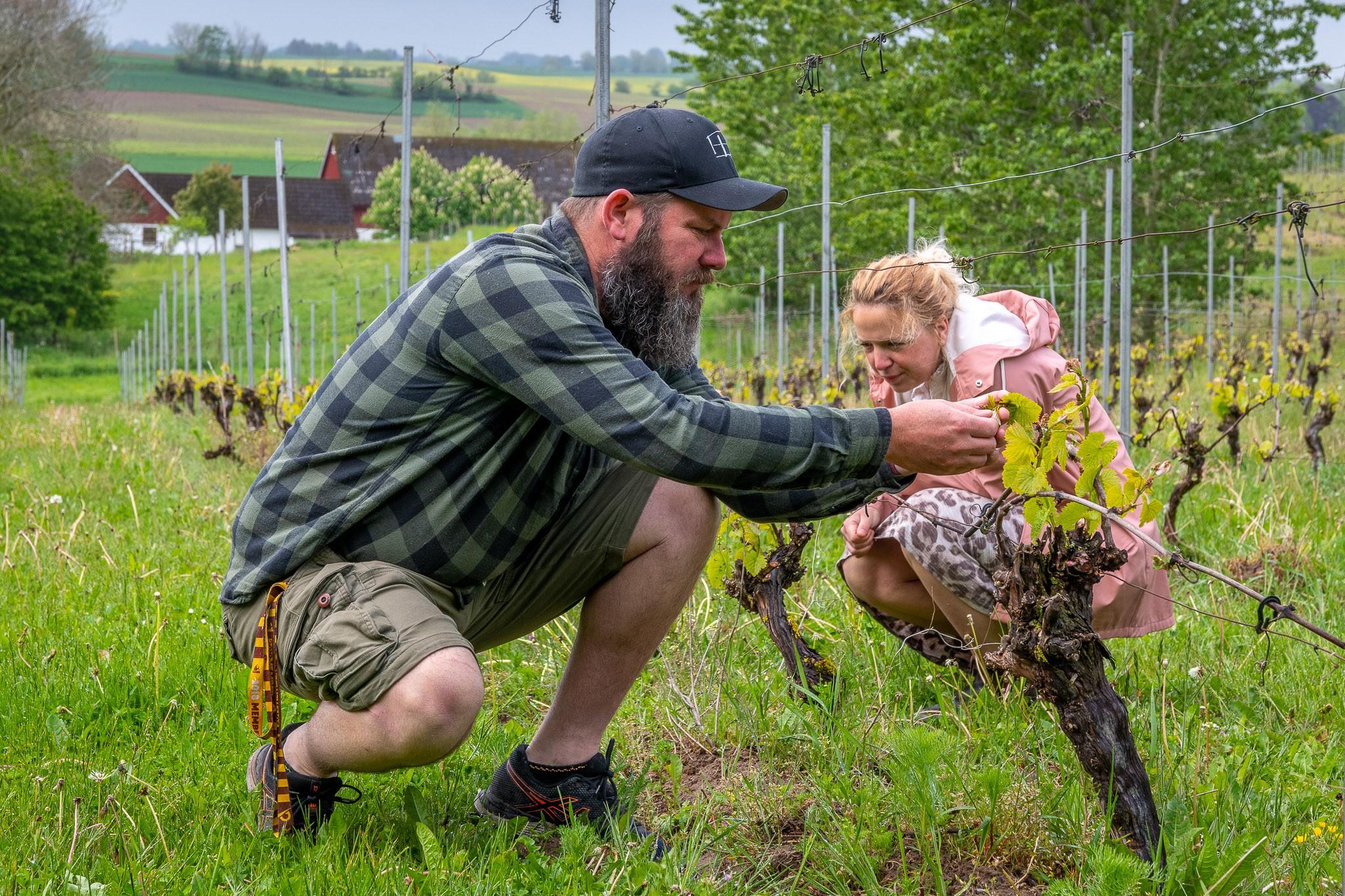 Mick och Joanna Daly tittar till Hällåkras vindruvsstockar ända fram till höstens skördetid. - Skörden brukar pågå under en månads tid, säger Joanna Daly. Ibland ända in i november. Det är väldigt väderberoende.