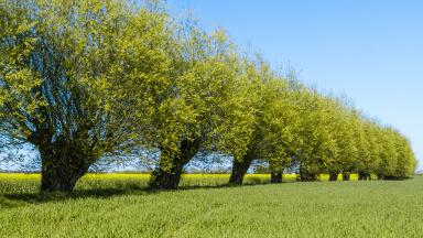Allé med pilträd
