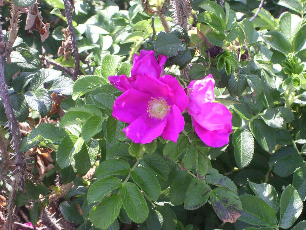 blommande vresros